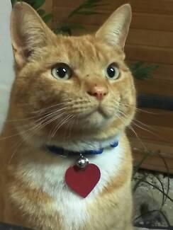 Ginger Male Cat Craigieburn Hume Area Preview