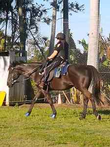 TB 16 hh Gelding Wamuran Caboolture Area Preview