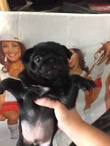 Pure breed Black pug for sale