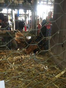 Sebright rooster