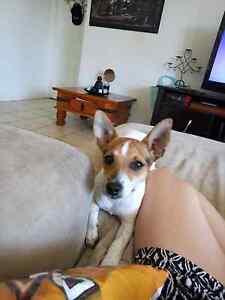 Charlie - 6 month old mini foxy Bracken Ridge Brisbane North East Preview
