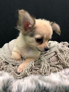 Pedigree Long Coat Chihuahua Puppy