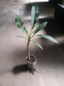Frangipani plants trees. Lilyfield Leichhardt Area Preview