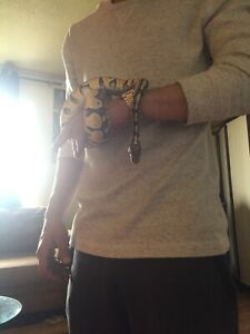 2 year old ball python VERY TAME
