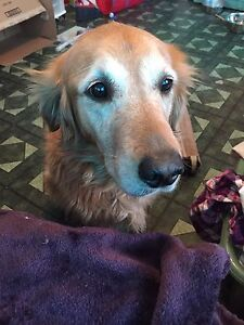 Female spayed purebred Golden Retriever 5 years old