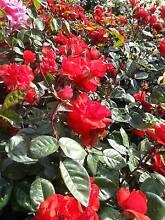River Road Nursery Pty Ltd- Wholesale Plants-Direct to the Public Oaks Estate Queanbeyan Area Preview