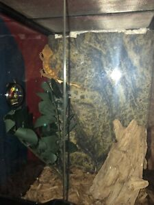 Crested gecko with ecoterra enclosure