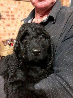 Australian Cobberdog pups not  labradoodle, groodle or spoodle