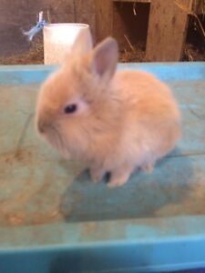 Looking for a lionhead rabbit