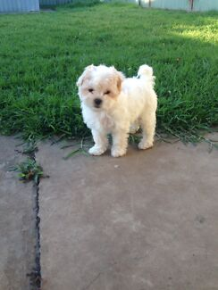 Puppy Maltese Shitzu Dogs Puppies Gumtree Australia Bankstown