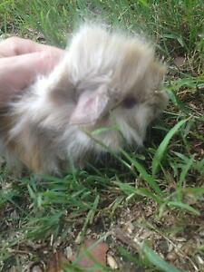 Gorgeous baby Guinea Pigs East Gosford Gosford Area Preview