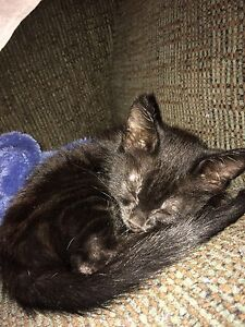 Black male kitten Baldivis Rockingham Area Preview
