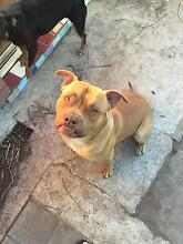 Pure bred Staffy 9month old Beverly Hills Hurstville Area Preview