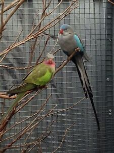 Parrots For Sale Cessnock Cessnock Area Preview