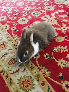 Brown bunny for sale Amaroo Gungahlin Area Preview