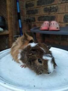 Adorable male guinea pigs looking for a new home