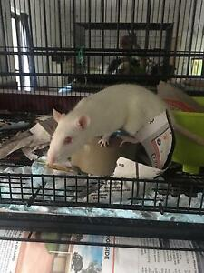 White female rat Kings Langley Blacktown Area Preview