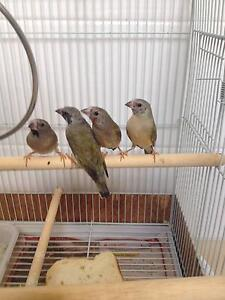 Baby Gouldian Finches Upper Coomera Gold Coast North Preview