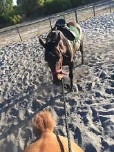 Urgent sale: STB Mare 16hh 4years old Dardanup West Dardanup Area Preview