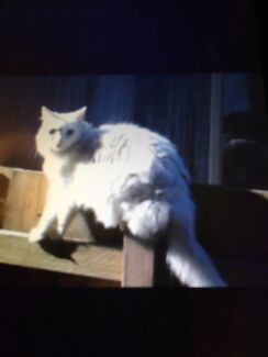 Lost cat Oakleigh Monash Area Preview
