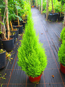 FIVEx 3ft (inc. pot) Lemon Scented  Conifers Cupressus goldcrest wilma