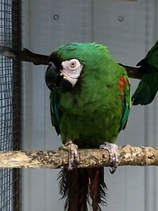 Bonded pair of severe macaws