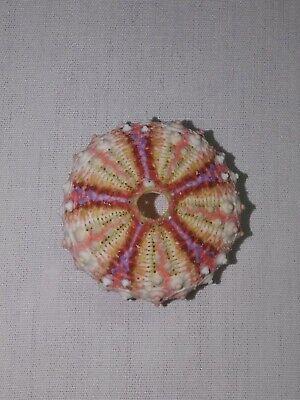 Coelopleurus millardi deep sea urchin. 35mm Collectable sea shell #6