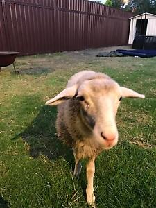 Lamb for Sale Riverwood Canterbury Area Preview