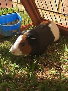 Guinea pig + cage + food Clarkson Wanneroo Area Preview