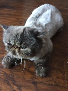 Pure Persian male for re home