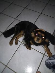Found this dog Labrador Gold Coast City Preview