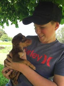 Kelpie - Red and tan Pup