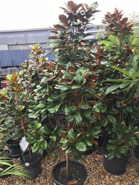 Magnolia Teddy Bear Tree 15m Tall In 400mm Pot 29999 Plants