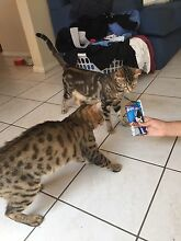 Bengal kittens - purebred Carlingford The Hills District Preview