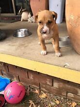 Puppy For Sale Sanctuary Point Shoalhaven Area Preview