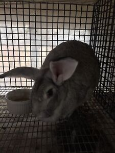 New Zealand female grey rabbit for sale