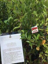 Strawberry Guava Jandakot Cockburn Area Preview
