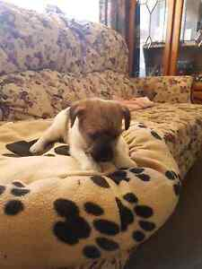 JACK RUSSELL PUPS Cleve Cleve Area Preview