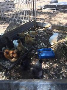 Silkie Chickens Morangup Toodyay Area Preview