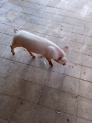 Pig for sale Victory Heights Kalgoorlie Area Preview