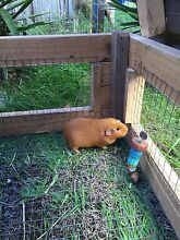 Guinea Pigs for sale North St Marys Penrith Area Preview