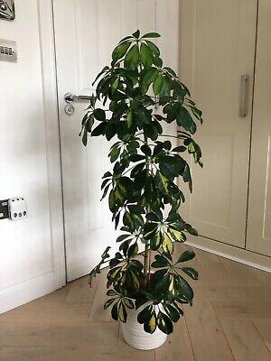 Indoor House Plant Schefflera Umbrella Plant Approx 110 cm Tall