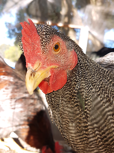 Plymouth rock cockerells - dark barred 6mths old Windella Maitland Area Preview