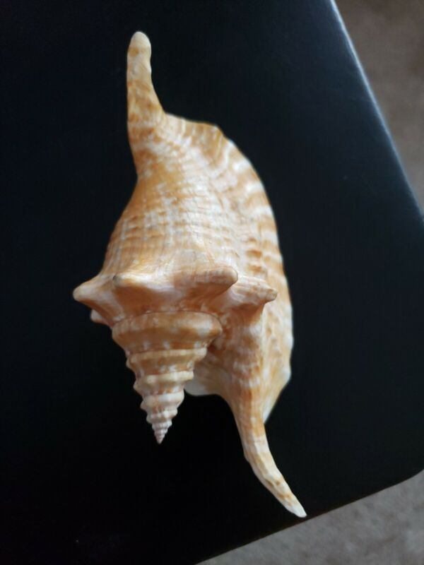"""Rooster Tail Conch - Strombus gallus (Approx. 6 1/2"""" or 165mm)"""