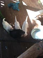 Purebred register Labrador puppies Gympie Gympie Area Preview