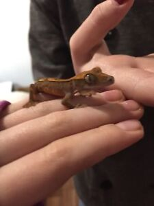 Baby crested gecko with cage, food, etc