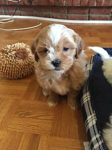 Apricot and red toy maltipoo puppies
