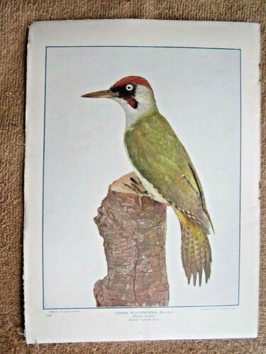 1903 ANTIQUE GREEN WOODPECKER BIRD LITHOGRAPH PRINT