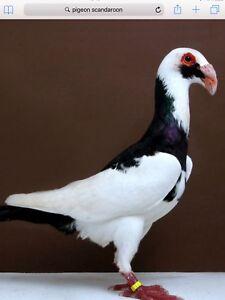 Recherche pigeons Scandaroon