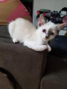 Rag doll x Calypso kittens
